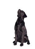 黑色拉布拉多小狗猎犬 免版税库存图片