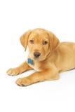 黄色拉布拉多小狗 免版税库存图片