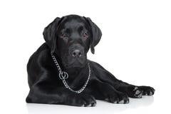 黑色拉布拉多小狗 库存照片