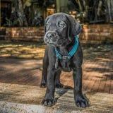 黑色拉布拉多小狗 免版税库存图片