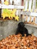 黑色拉布拉多小狗 免版税图库摄影