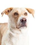 黄色拉布拉多猎犬狗特写镜头照片  库存照片