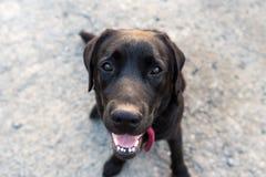 黑色拉布拉多猎犬 图库摄影