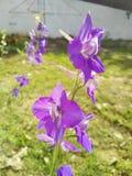 紫色拳打在春天 免版税库存照片