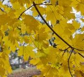 黄色挪威枫树叶子弧  免版税库存图片