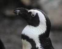 黑色接近的有脚的顶头企鹅 库存照片