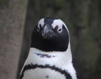 黑色接近的有脚的顶头企鹅 免版税图库摄影