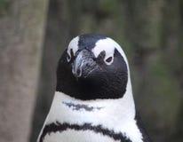 黑色接近的有脚的顶头企鹅 免版税库存图片