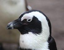 黑色接近的有脚的顶头企鹅 免版税库存照片
