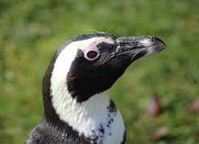 黑色接近的有脚的顶头企鹅 库存图片