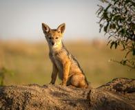 年轻黑色支持凝视观察者的狐狼小狗 图库摄影