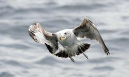 黑色支持的海带鸥 图库摄影