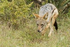 黑色支持的狐狼狩猎 免版税库存图片