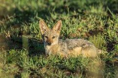黑色支持的狐狼 免版税库存照片