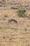 黑色支持的狐狼 库存图片