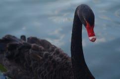 黑色收缩的天鹅 免版税库存照片