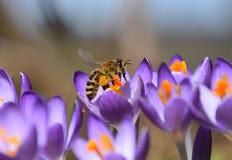 紫色收集花粉的春天番红花和蜜蜂 免版税库存照片