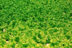 绿色散叶莴苣纹理  免版税库存照片