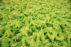 绿色散叶莴苣纹理  库存照片