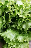 绿色散叶莴苣 免版税库存照片