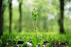 绿色新芽在森林里 免版税图库摄影