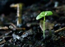 绿色新芽生长从种子的和水滴下 免版税图库摄影