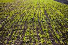 绿色新芽的领域 库存图片