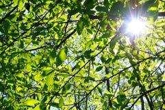 有星期日的绿色新鲜的春天树叶子。 免版税图库摄影