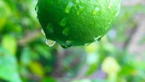 绿色新鲜的柠檬在日本庭院里 免版税库存图片