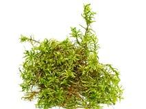 绿色新鲜的森林青苔 库存图片