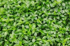 绿色新鲜的植物 免版税库存图片