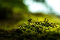 绿色新鲜的青苔宏指令在反对光的森林里 免版税库存照片