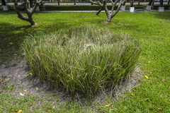 绿色新鲜的香根草草 免版税库存图片