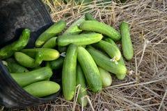 绿色新鲜的黄瓜 库存图片