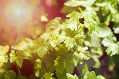 无核小葡萄干叶子在有太阳的春天 免版税库存图片