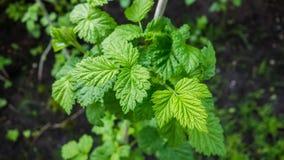 绿色无核小葡萄干叶子 免版税图库摄影