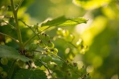 绿色无核小葡萄干在夏天从事园艺,晴天 宏观sloseup射击 库存图片