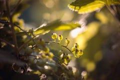 绿色无核小葡萄干在夏天从事园艺,晴天 宏观sloseup射击 库存照片