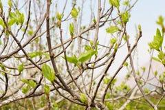绿色无花果树叶子 免版税库存照片
