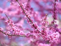 紫色春天开花。紫荆Canadensis或东Redbud 免版税库存图片