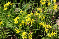 黄色春天花在森林里 库存图片