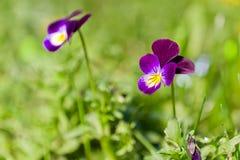 紫色春天花,蝴蝶花 免版税库存照片