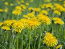 黄色春天蒲公英在狂放的草甸 免版税库存图片