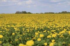 黄色春天领域 库存图片