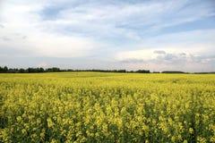 黄色春天领域 免版税图库摄影