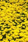 黄色春黄菊大量  免版税库存图片