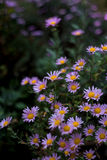 紫色春黄菊 库存图片