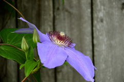 紫色是俏丽的 免版税库存图片