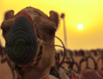 黄色是我的骆驼 库存照片