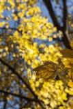 黄色有叶子的秋天唯一叶子在背景中 库存照片